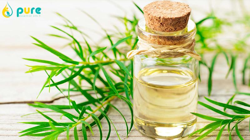 Công dụng của tinh dầu tràm trà và cách sử dụng